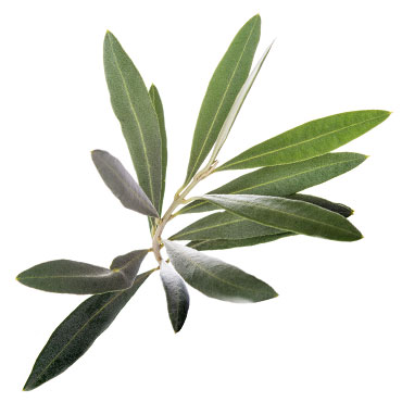 Medical Evidence supporting the benefits of Olive Leaf | Mirabilia